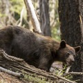 Black bear near Redwood Meadow.- Mineral King Loop: Timber Gap to Sawtooth Gap