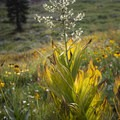 Wildflowers north of Timber Gap.- Mineral King Loop: Timber Gap to Sawtooth Gap