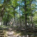 Dense forest marks the early part of your hike.- Huemul Circuit