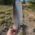Condor feathers on the ground help show you how massive these birds are.- Huemul Circuit