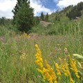 Meadow Goldenrod in a meadow.- Iva Bell Hot Springs via Fish Creek Trail