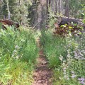 Trailside ferns and aster.- Iva Bell Hot Springs via Fish Creek Trail