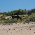 Grazing on the dunes.- Wild Horses of Corolla