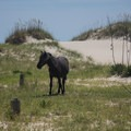 The wild horses are often seen just behind the dunes.- Wild Horses of Corolla