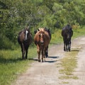 The horses use the roads, so don't drive quickly.- Wild Horses of Corolla