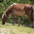 Corolla wild horses are smaller on average than than other horses.- Wild Horses of Corolla