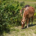 These horses have been living in Corolla for nearly 500 years.- Wild Horses of Corolla