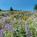 Wildflowers blooming near the summit of Spanish Peak.- Ochoco Mountains Loop: Rock Creek to Black Canyon Wilderness