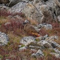 Marmot hanging out near Pawnee Pass.- Pawnee and Buchanan Pass Loop