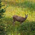 Deer in Fox Park.- Pawnee and Buchanan Pass Loop