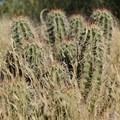 Cactus in Bouldering in Hueco Tanks State Park and Historic Site.- Hueco Tanks State Park and Historic Site