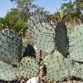 Prickly pear cactus in Bouldering in Hueco Tanks State Park and Historic Site.- Hueco Tanks State Park and Historic Site