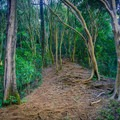 A slight incline begins the ascent up the rooted path.- Pu'u Pia