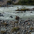 The rare Huemul crossing the river.- Los Glaciares National Park