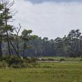 Wild ponies walking in the marsh on the Virginia side.- Assateague Island National Seashore