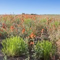 Flowers in bloom just outside the badlands.- Bisti/De-na-zin Badlands