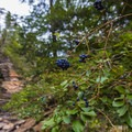 Wild berries along the Gorge Overlook Trail.- Gorge Overlook Trail