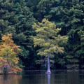 Cypress trees against a backdrop of forest.- Trap Pond State Park