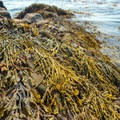 Seaweed-strewn rocks abound.- Middle Beach in Kennebunk