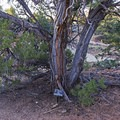 Interpretive signs line the trail. Here is one about the juniper tree.- Butler Wash Ruins
