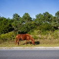 A wild horse on the side of the road.- Assateague Island Campground
