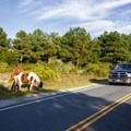 A truck stops to check out the horses on the road leading to the bayside camping.- Assateague Island Campground