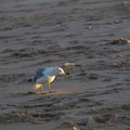 A seagull peruses the sand for a meal.- Fenwick Island State Park