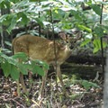A baby deer roaming the forest. - Bull Run Campground