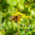 Butterfly along the trail.- Pondicherry Wildlife Refuge