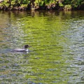 Loon on the lake.- Pawtuckaway State Park