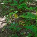 Wildflowers along the trail.- Bear Hair Gap Trail