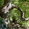 A tree reaches its arm across the trail. - Marys Rock