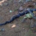 Eastern rat snake. - Marys Rock