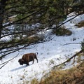 Bison are frequent trail users.- Rescue Creek