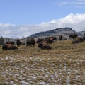 Always yield for bison on the trail.- Rescue Creek