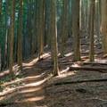 Shaded woodlands.- Huckleberry Mountain via Boulder Ridge