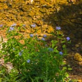 Wildflowers on the creek.- St. Francois State Park Campgrounds