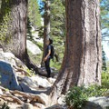 Tall trees in the wilderness backcountry.- Echo Lakes Trail