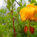 Columbia lily.- Eagle Peak
