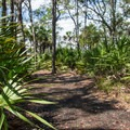 Much of the trail passes palmettos and pines in an open woodland.- Sandpiper Loop Nature Trail