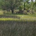 A great egret searches for a snack in the marsh.- Sandpiper Loop Nature Trail