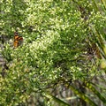 Painted lady butterfly near the trail.- Sandpiper Loop Nature Trail