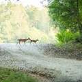 Wild deer roam through the campground as well as other animals.- Croft State Park Campground