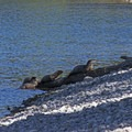 River otters within 50 feet of the trailhead.- Hermitage Point Loop