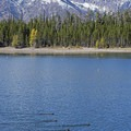 River otters in Jackson Lake.- Hermitage Point Loop
