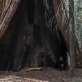 The Hart Tree.- Redwood canyon via Hart tree