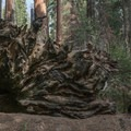 The root system of a fallen giant sequoia.- Redwood canyon via Hart tree