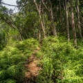 Heading up the fern-lined ridge. - Wahiawa Hills