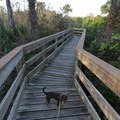 Pets welcome on the boardwalk.- Turtle Mound