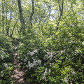The trail dips down through forest with mountain laurel.- Brace Mountain
